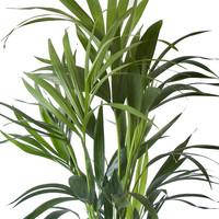 thumb-Kentia Palm (Howea Fosteriana - 24x125 cm)-4