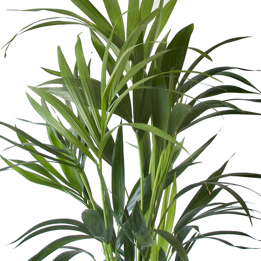 Kentia Palm (Howea Fosteriana - 24x125 cm)-4