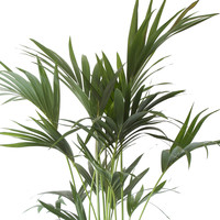 thumb-Kentia Palm (Howea Fosteriana - 24x125 cm)-5