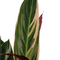 thumb-Decorum Calathea Triostar met Elho brussels white (19x85 cm)-2