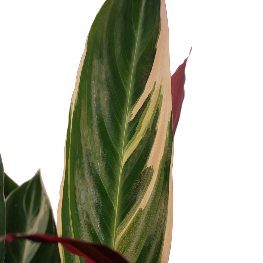 Decorum Calathea Triostar met Elho brussels white (19x85 cm)-2