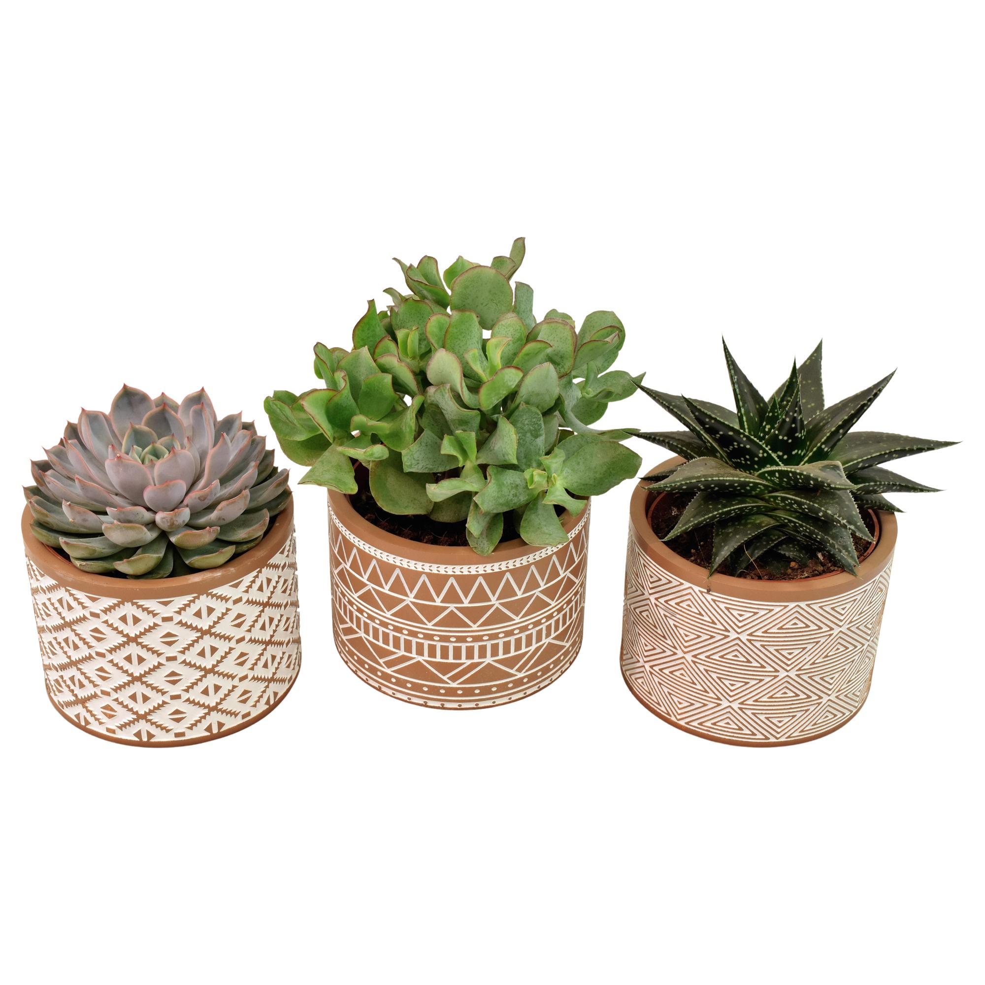 Set van drie vetplanten in bruin en wit deco keramiek (AS261 - 11x12 cm)