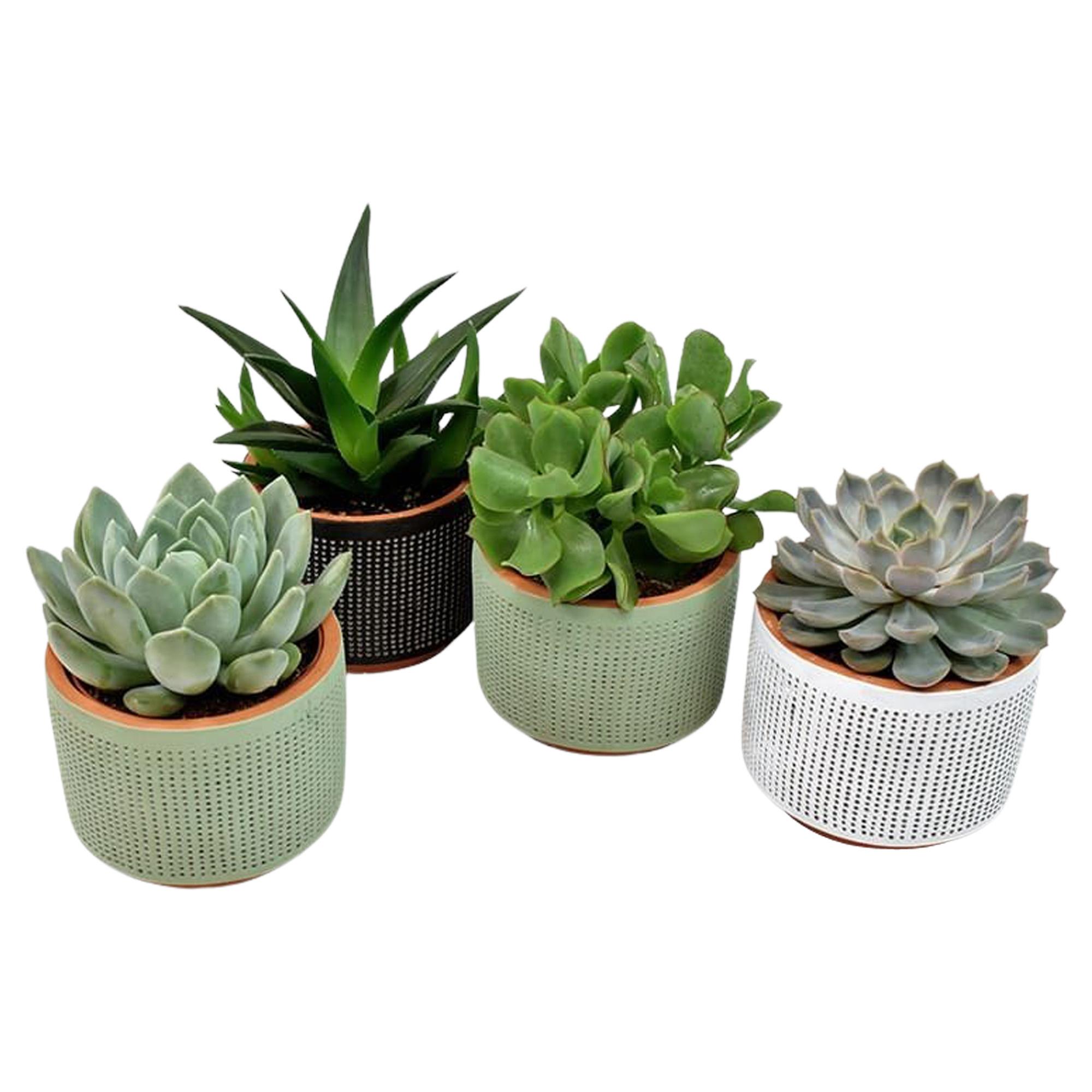 Set van vier vetplanten in Aneta keramiek (AS244 - 11x12 cm)