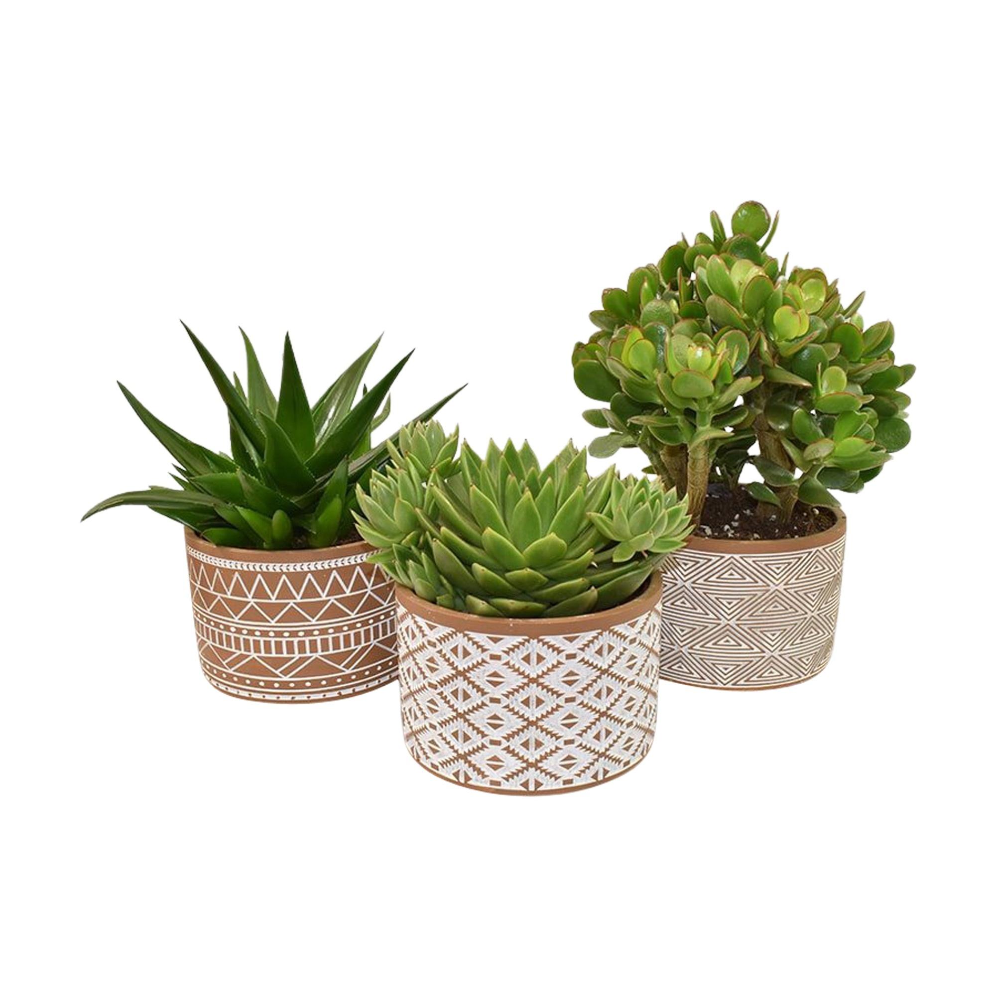 Set van drie vetplanten in bruin en wit deco keramiek (AS 262 - 15x21 cm)