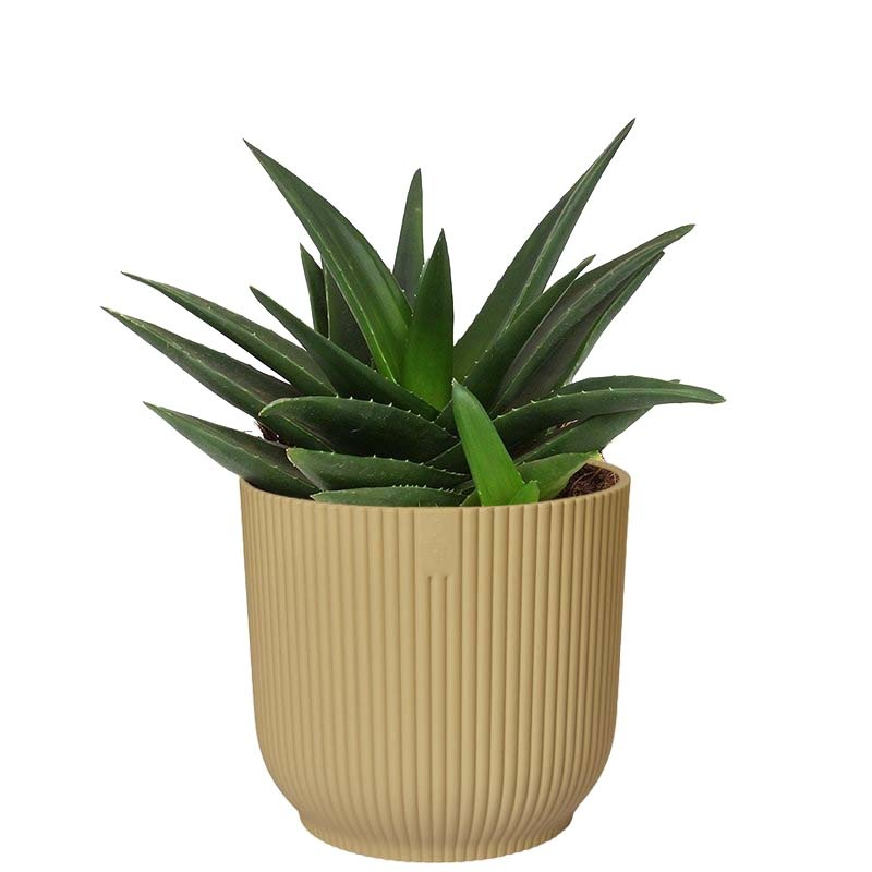 Haworthia West Jogoo in ELHO ® Vibes Fold Rond (botergeel) (15.72 - 16x20 cm)