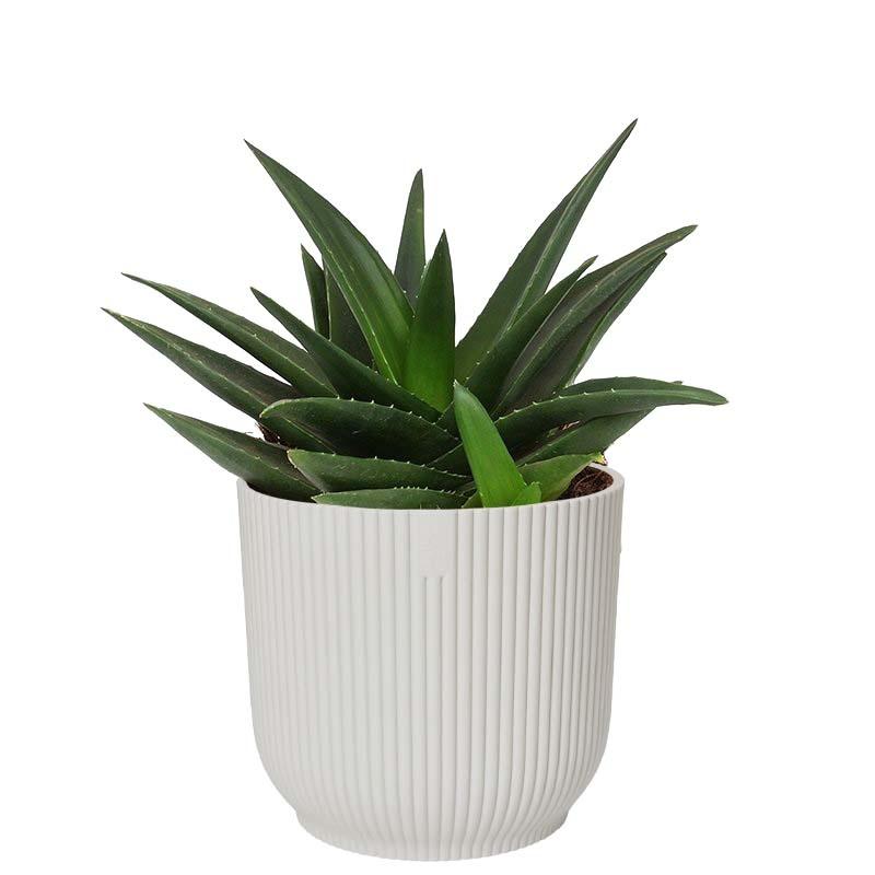 Haworthia West Jogoo in ELHO ® Vibes Fold Rond (zijdewit) (15.72 - 16x20 cm)