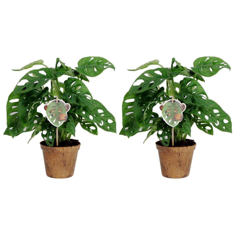Duo Monstera Obliqua 'Monkey Leaf' (MLNC.12ZK00 - 12x25 cm)