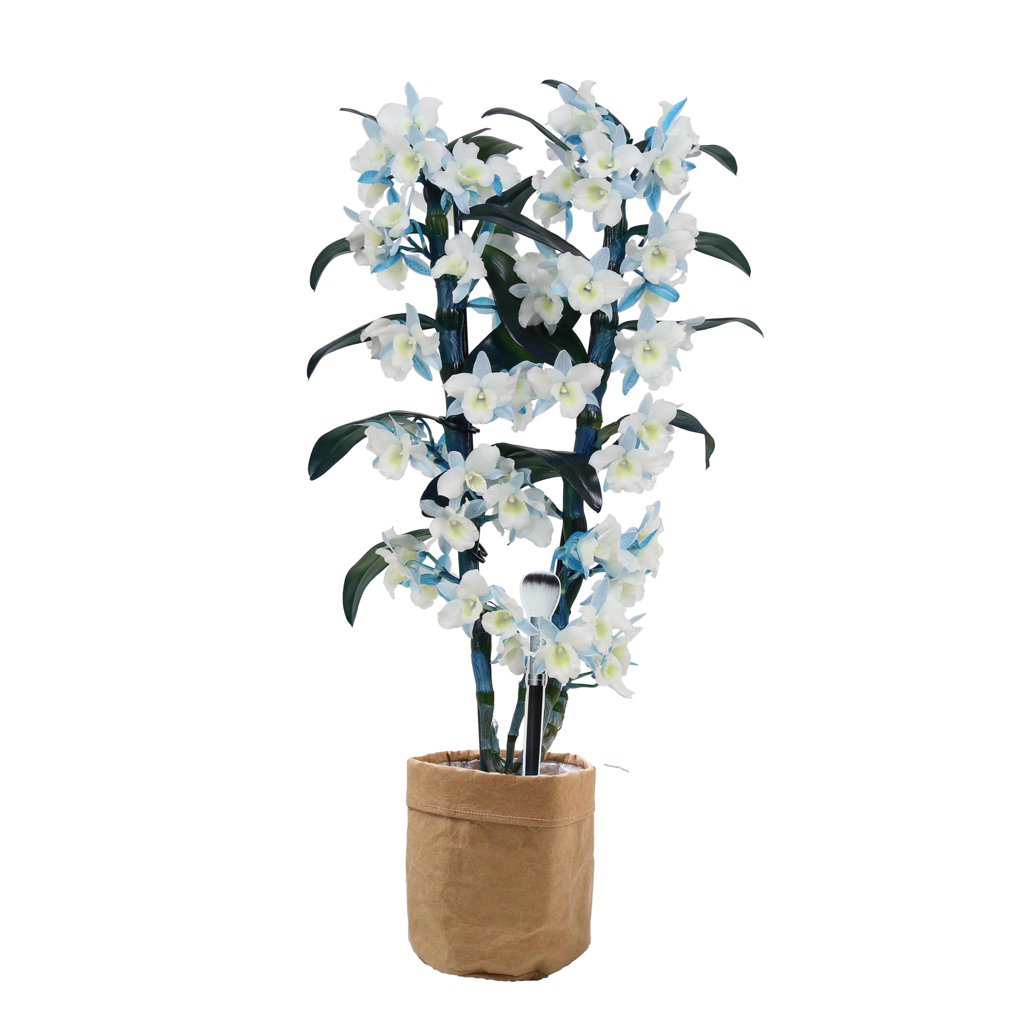 Bamboo orchid 'Make Upz' (2-tak) in Sizo Bag (BXMB2 - 15x50 cm)
