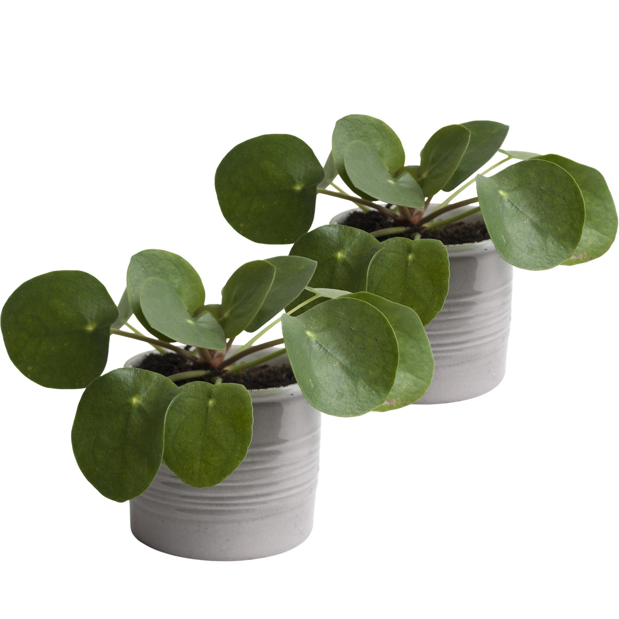 Duo Pannenkoekplant in keramiek (grijs) (10x12 cm)