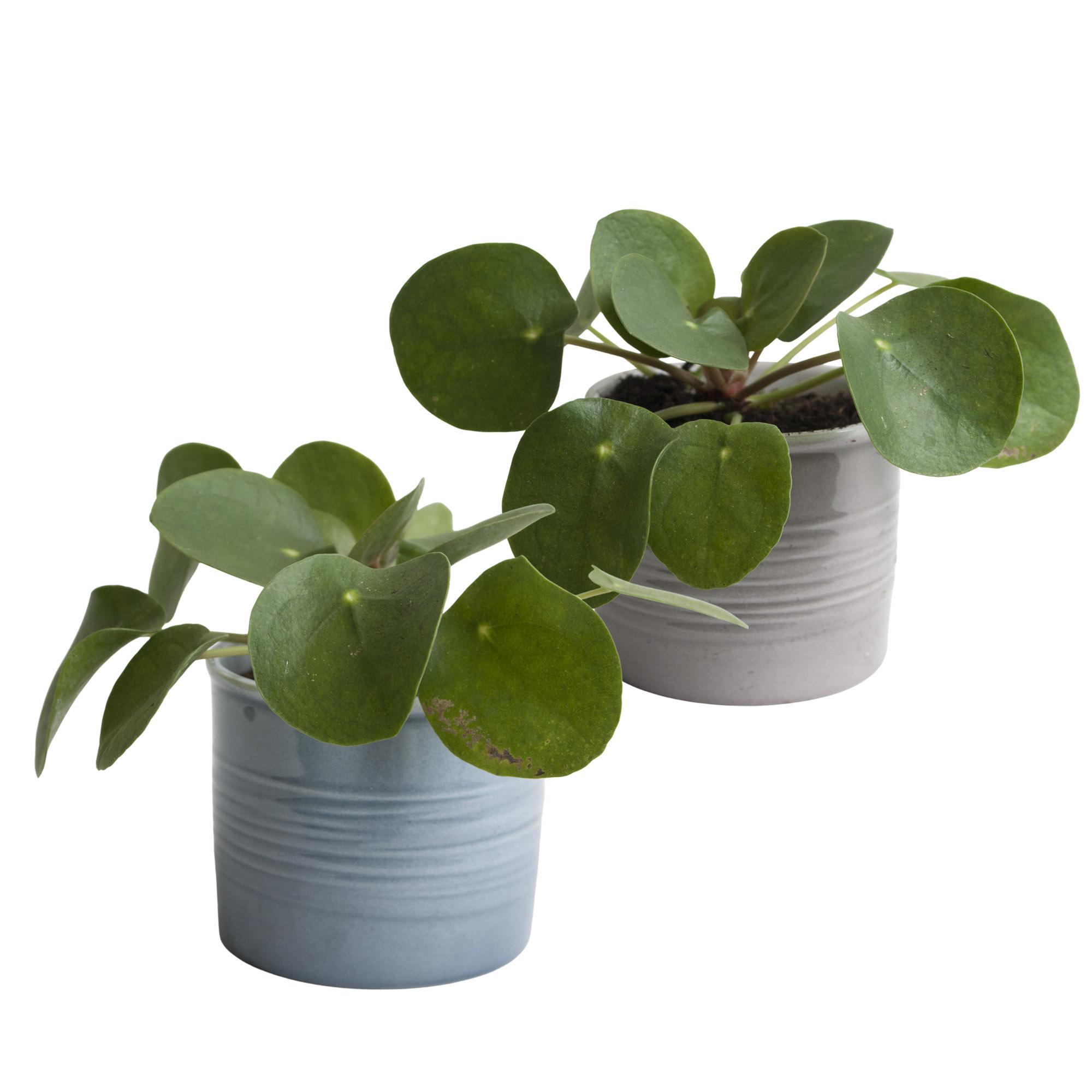 Duo Pannenkoekplant in keramiek (10x12 cm)