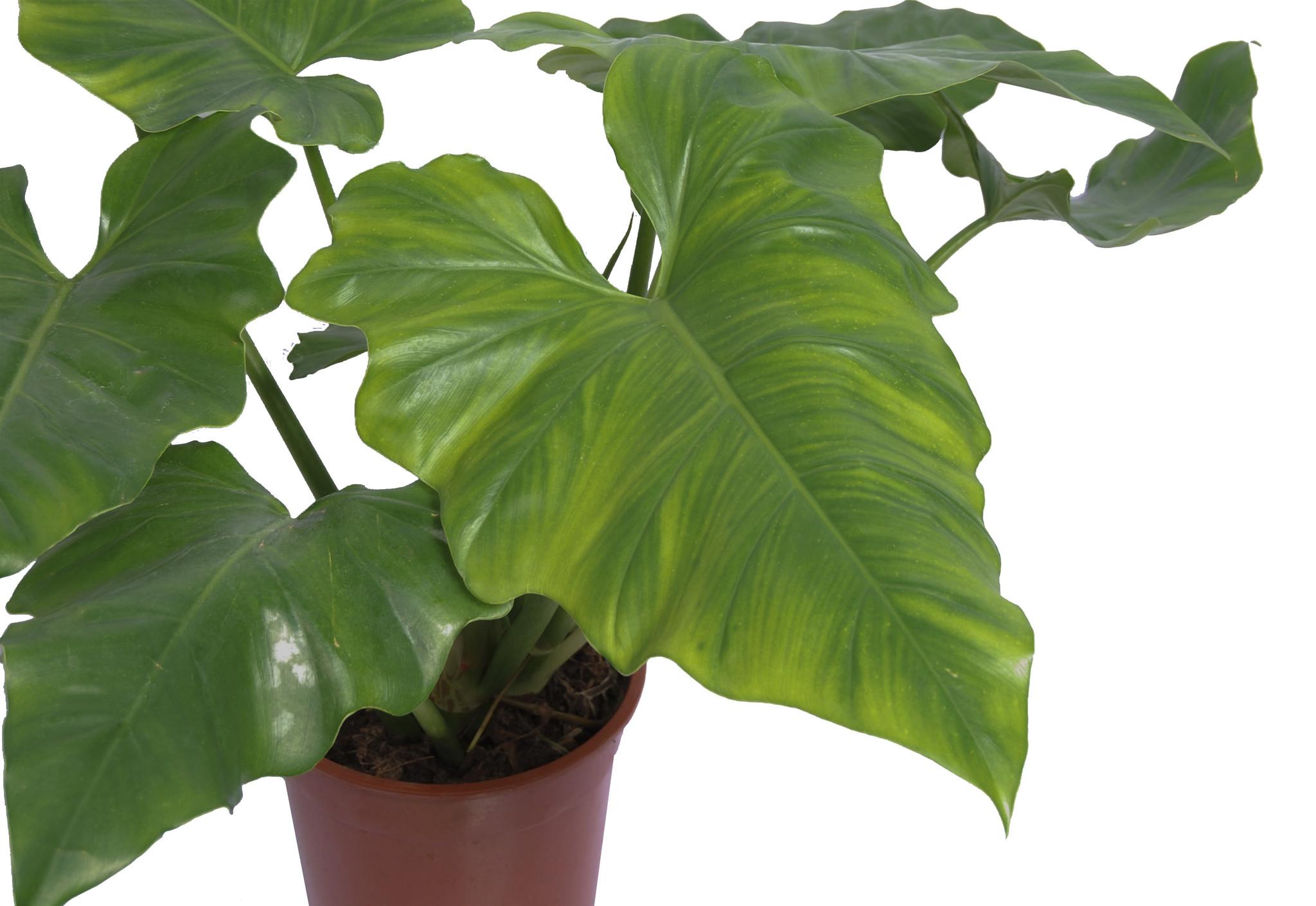 Philodendron Cordatum (PCORDATU24.65 - 24x65 cm)
