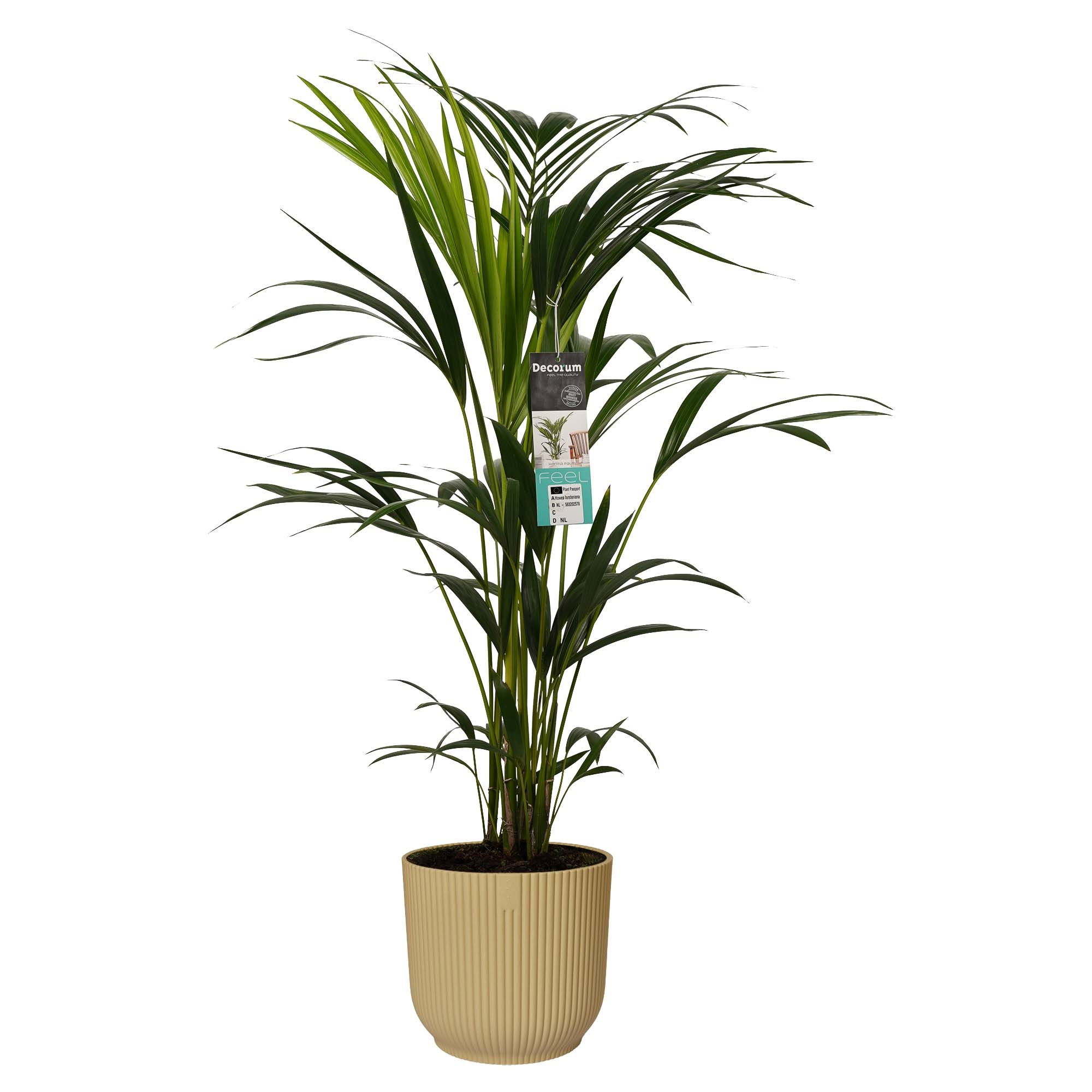 Decorum Kentia Palm in ELHO sierpot Vibes Fold (botergeel) (22x100 cm)