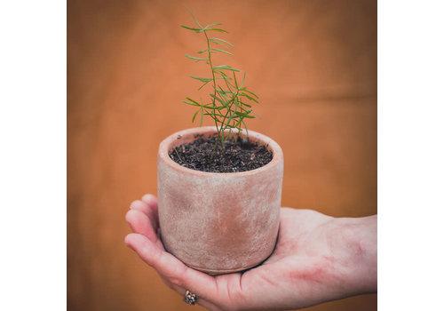 Grow your ownn Grow your ownn - kweekset plant - asparagus plumosus nana