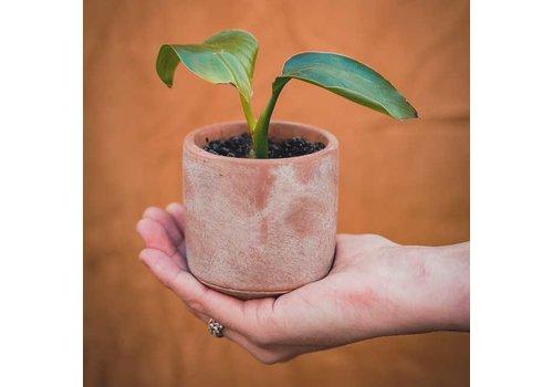Grow your ownn Grow your ownn - kweekset plant - strelizia nicolai