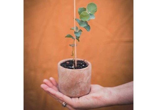 Grow your ownn Grow your ownn - kweekset plant - eucalyptus cinerea