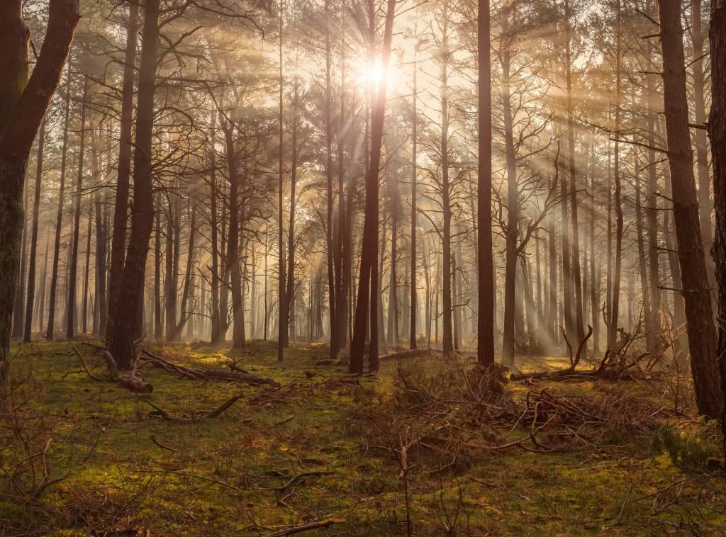 Vaak Behang met bos met hoge bomen - Fotobehang &JA14