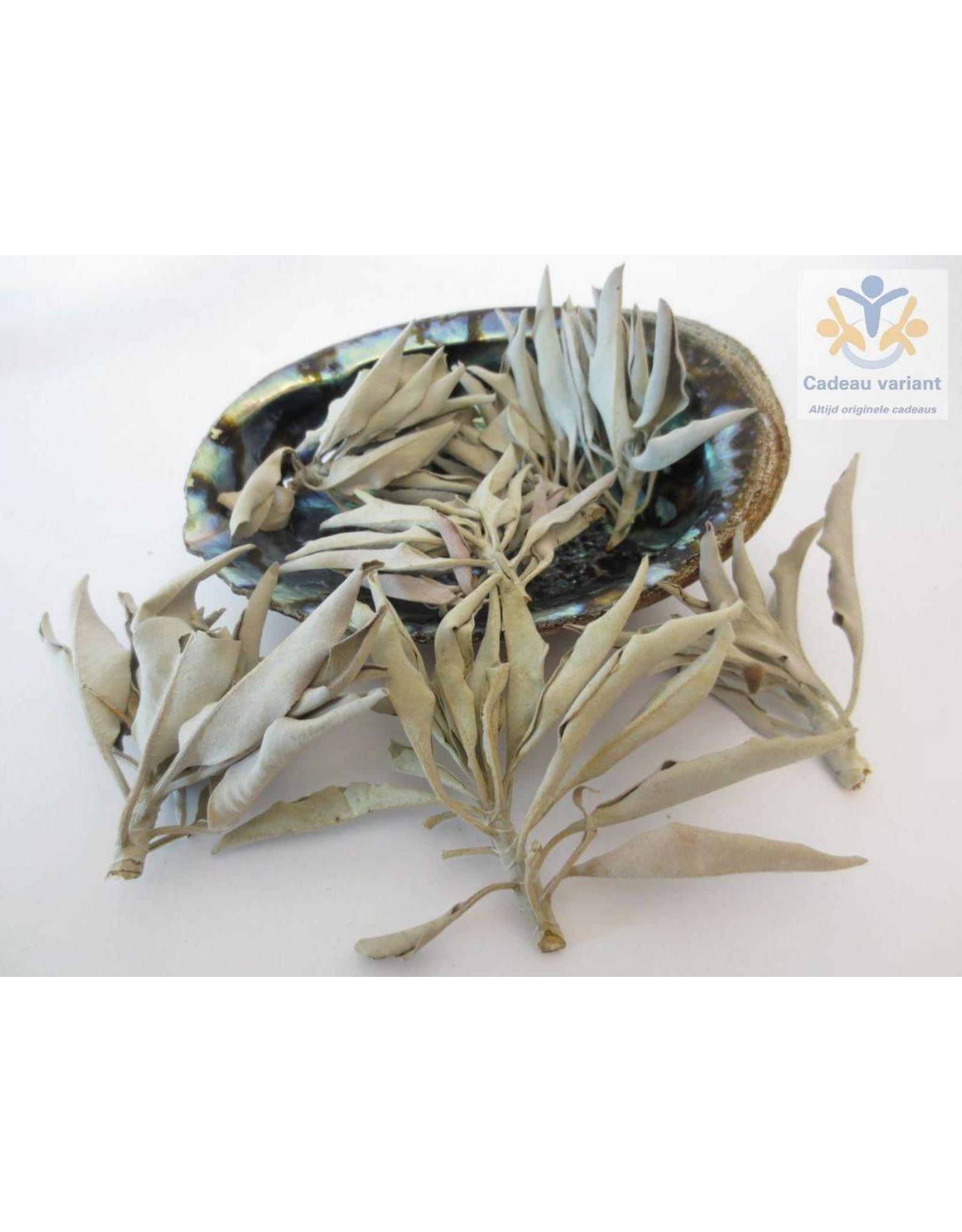 Abalone schelp