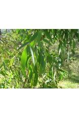 Sjankara Eucalyptus radiata BIO olie 11 ml