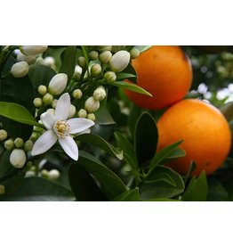Sjankara Sinaasappel zoet BIO  olie 11 ml