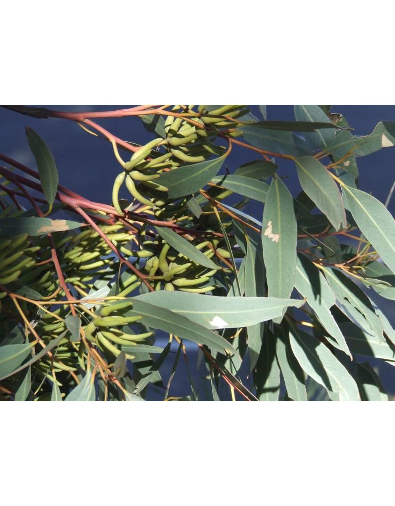 Volatile Eucalyptus globulus olie 10 ml
