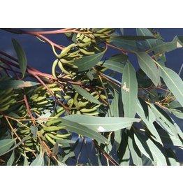 Volatile Eucalyptus wild olie 10 ml