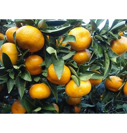 Sjankara Mandarijn groen BIO olie 11 ml