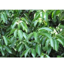Sjankara Kaneelblad Ceylon olie 11 ml