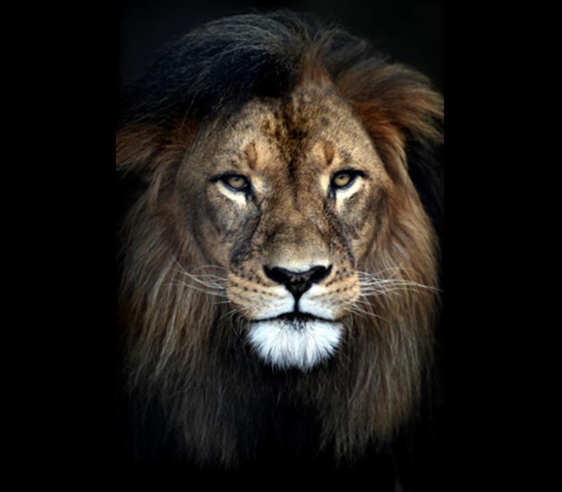 Aluminium Art - Lion Close up
