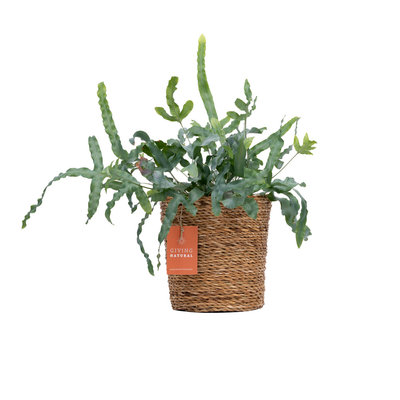 Giving Natural Natural basket - seagrass - per 6