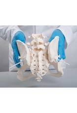 3B Scientific Weibliches Becken-Skelett Bungee, flexibel