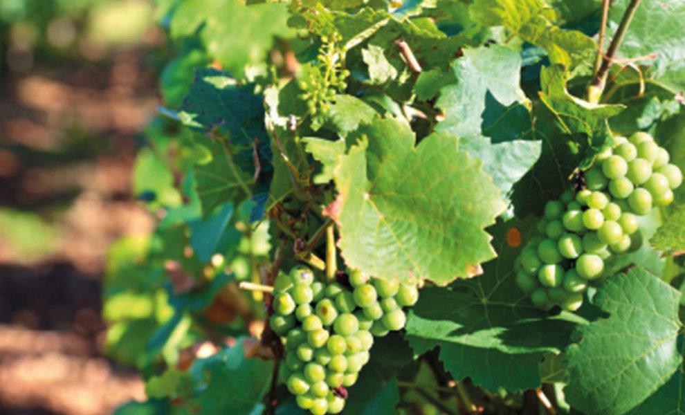 Ken jij het druivenras Ondenc ?