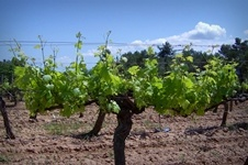 Chateau Canet vineyard