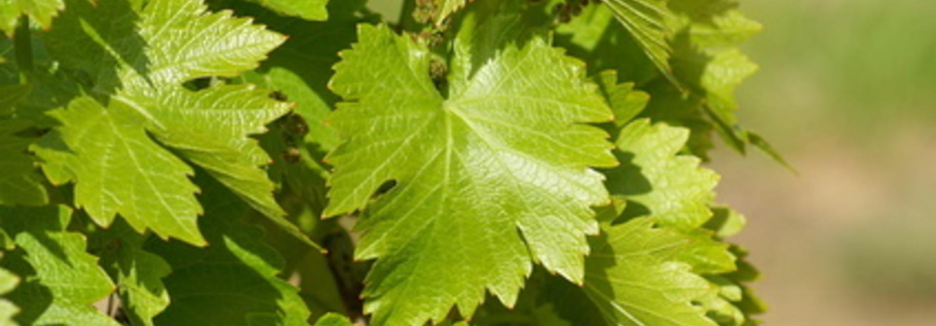 Wijnbouw in Vlaanderen.