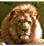 Sticker leeuw kast expedit / kallax ikea