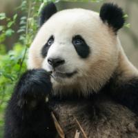 Panda verjaardag