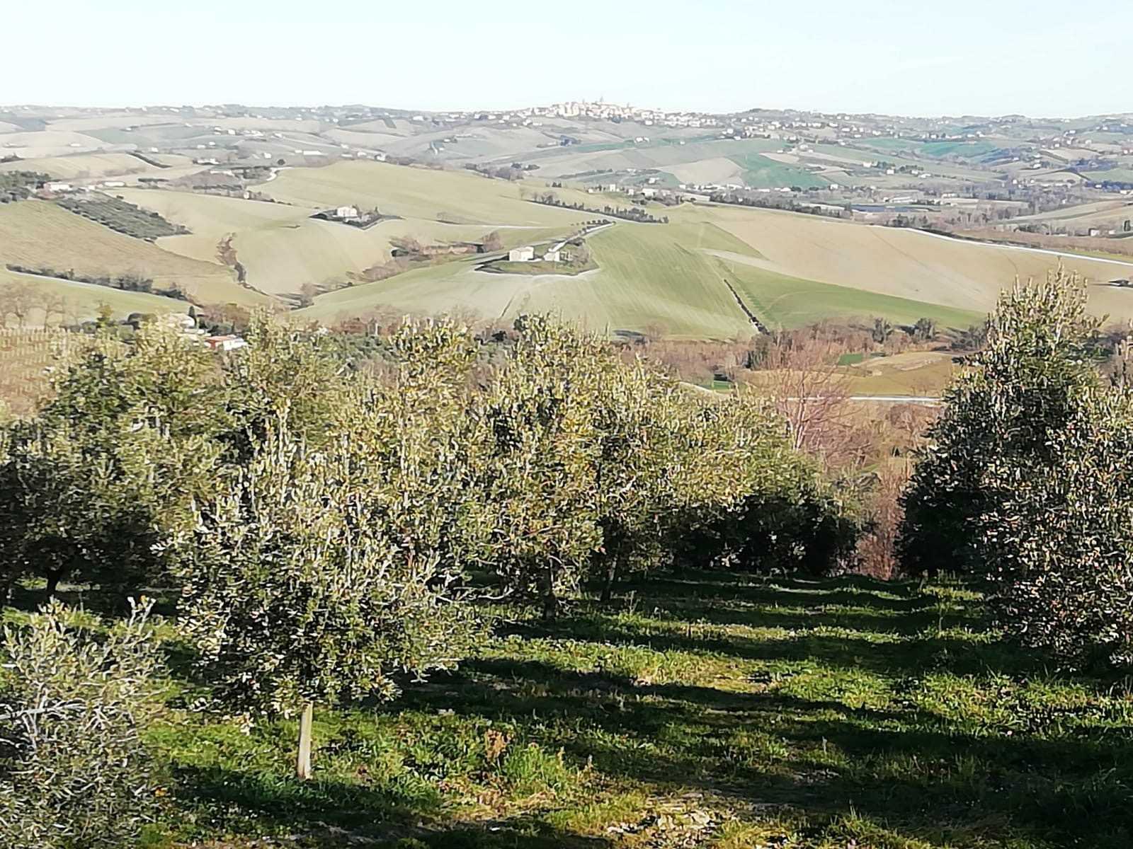 olijfolie-danilo-sorana-marche