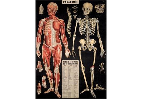 Cavallini Cavallini - Anatomy - Wrap/Poster