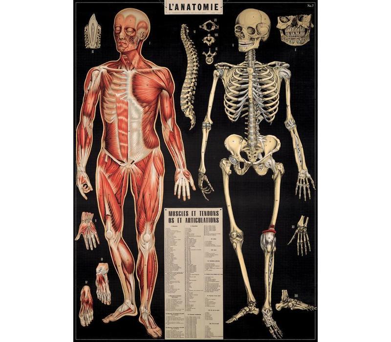 Cavallini - Anatomy - Wrap/Poster