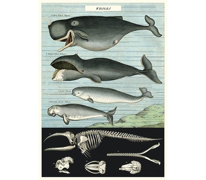 Cavallini - Whale Chart - Wrap/Poster