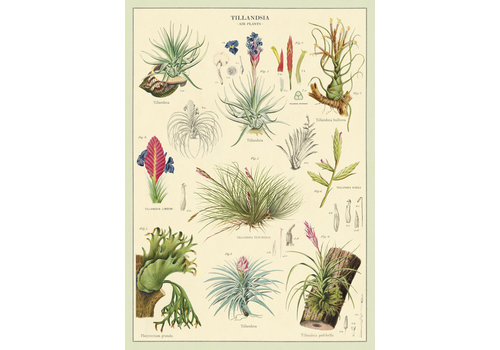 Cavallini Papers & Co Cavallini - Air Plants - Wrap/Poster