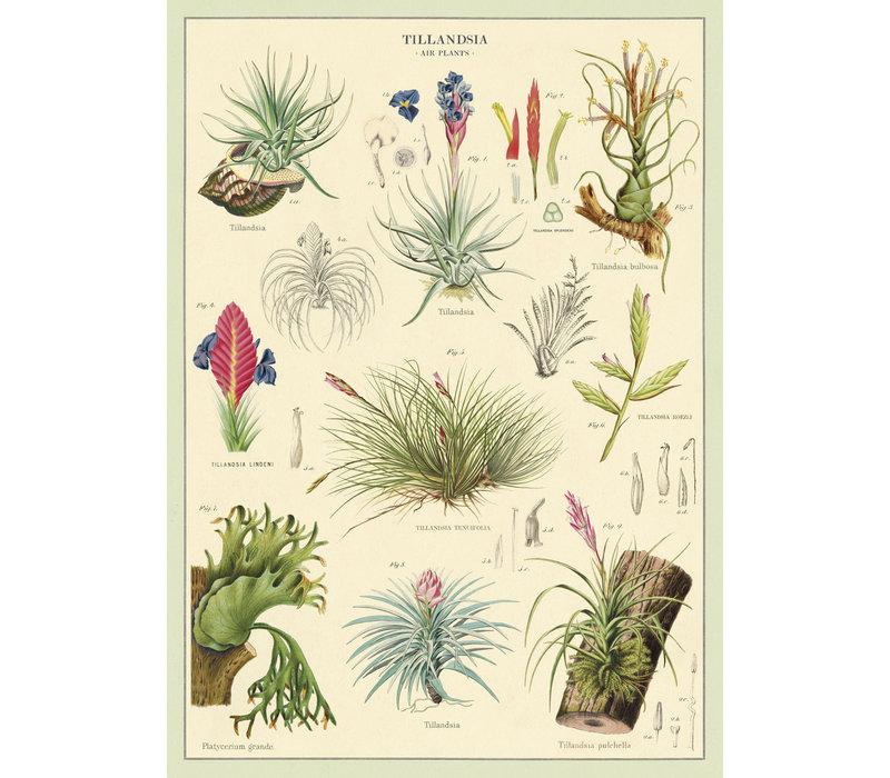 Cavallini - Air Plants - Wrap/Poster