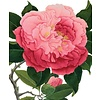 Archivist Gallery Archivist Gallery - Camelia - Greeting Card
