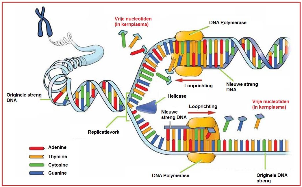 Nucleotiden DNA RNA