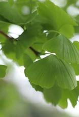 Ginkgo bladeren heel, gedroogd