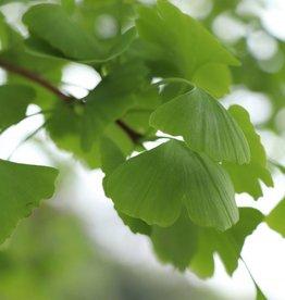 Ginkgo bladeren