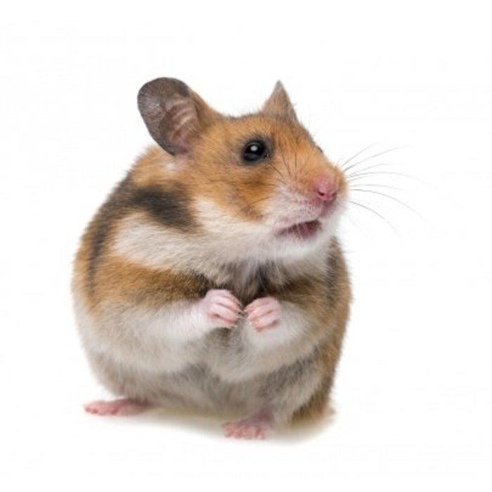 Hamster Dore (Syrian Hamster)