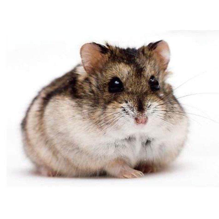 Hamster Nain Russe