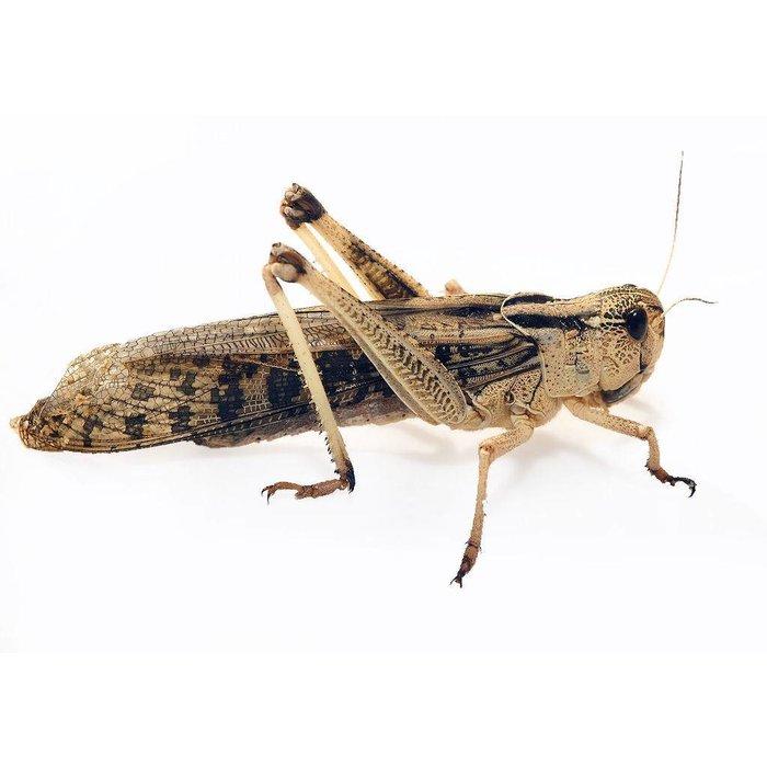 Treksprinkhaan Groot 100 St. (Locusta)