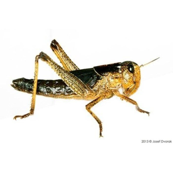 Sauterelle Moyen 25 St .(Locusta)