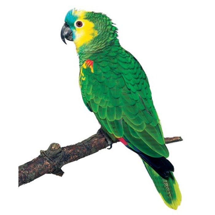 Blauw voorhoofd amazone papegaai